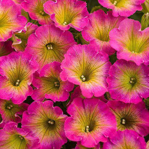 Supertunia Daybreak Charm Petunia Hybrid Petunia Flower Annual Flowers Flower Pots