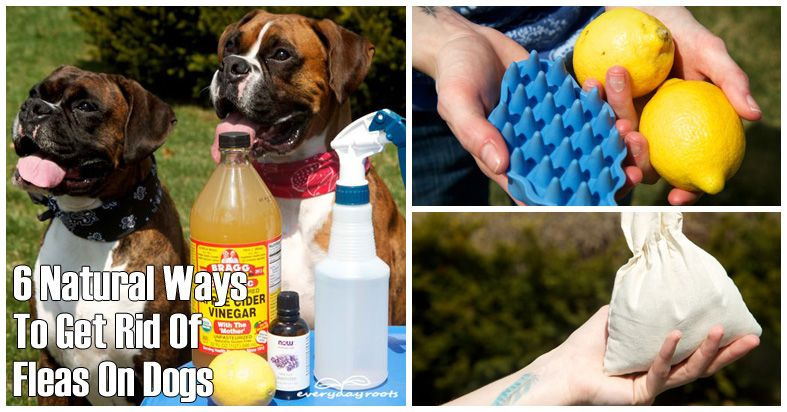 How To Get Rid Of Fleas On Dogs And Cats Naturally