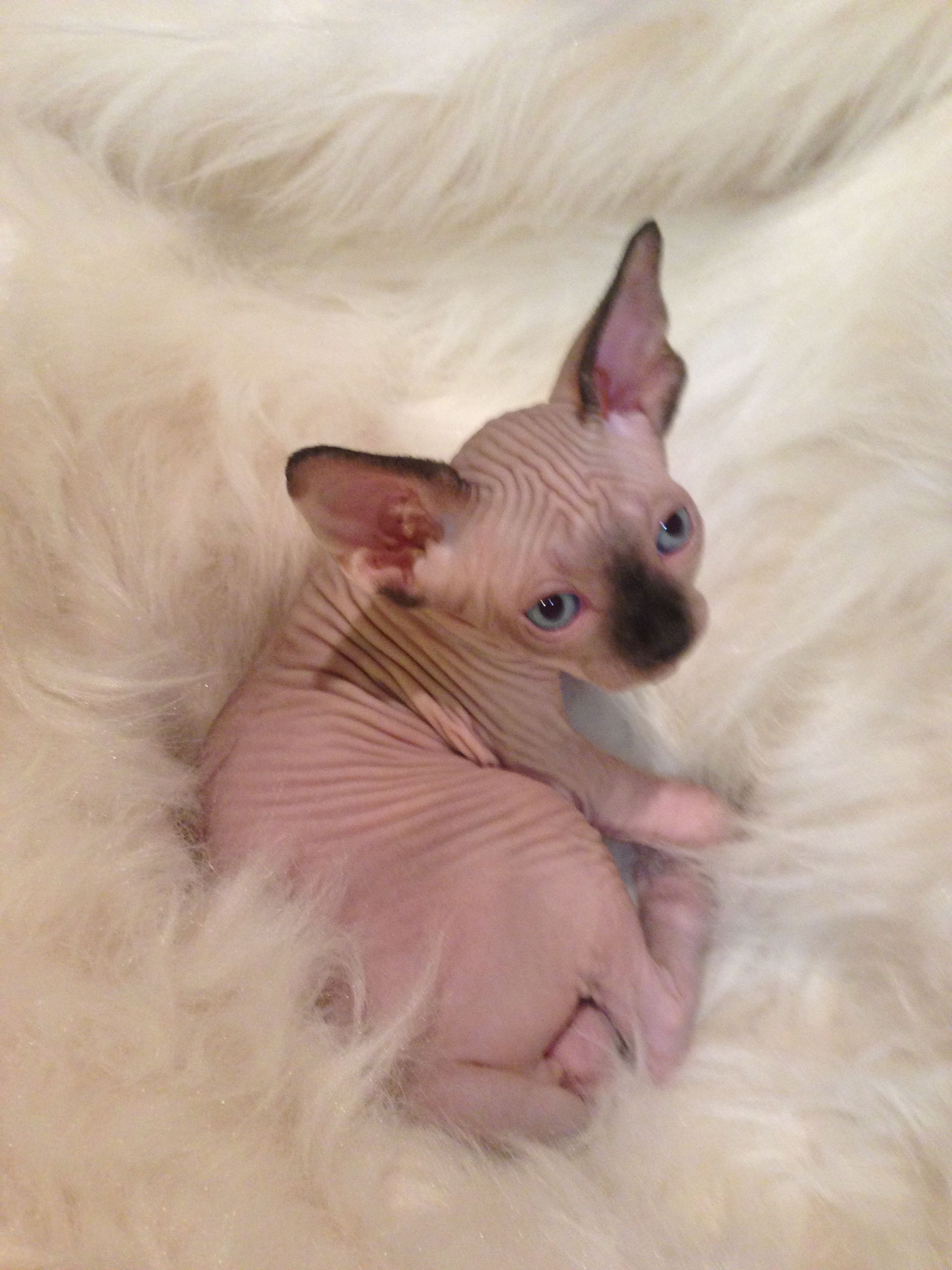 Gorgeous Seal Point Sphynx Kitten Cat Lovers Bambino Cat
