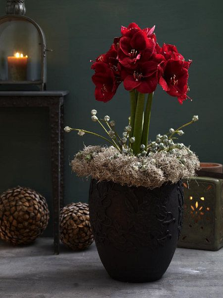 Amaryllis deko pinterest christmas flowers for Amaryllis christmas decoration