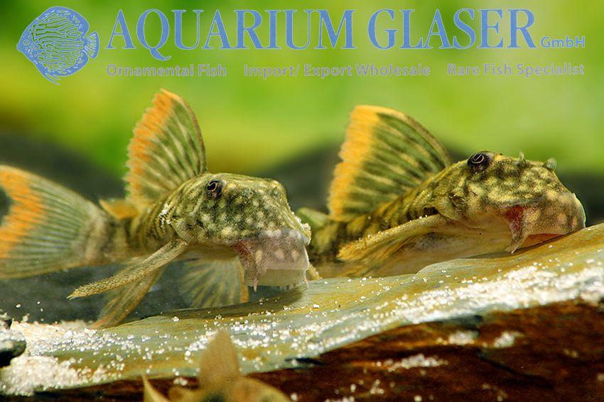 Guyanancistrus Guahiborum L106 Aquarium Glaser Gmbh Tiere Jungtiere Susswasserfische
