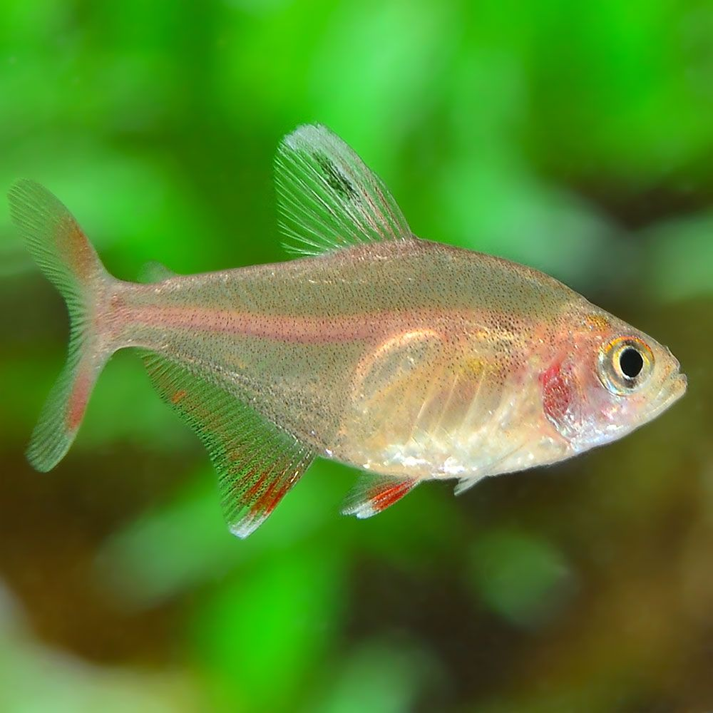 Very Similar To Other Large Tetras Such As Serpae Tetras Candy Cane Tetra Hy511 Also Go By The Name White Tip Tetra Best When Kept In Fairly Large Schools