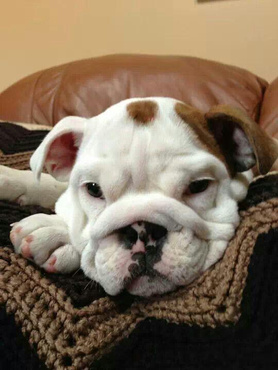 Too Cute Baby Bulldog Bulldog English Bulldog