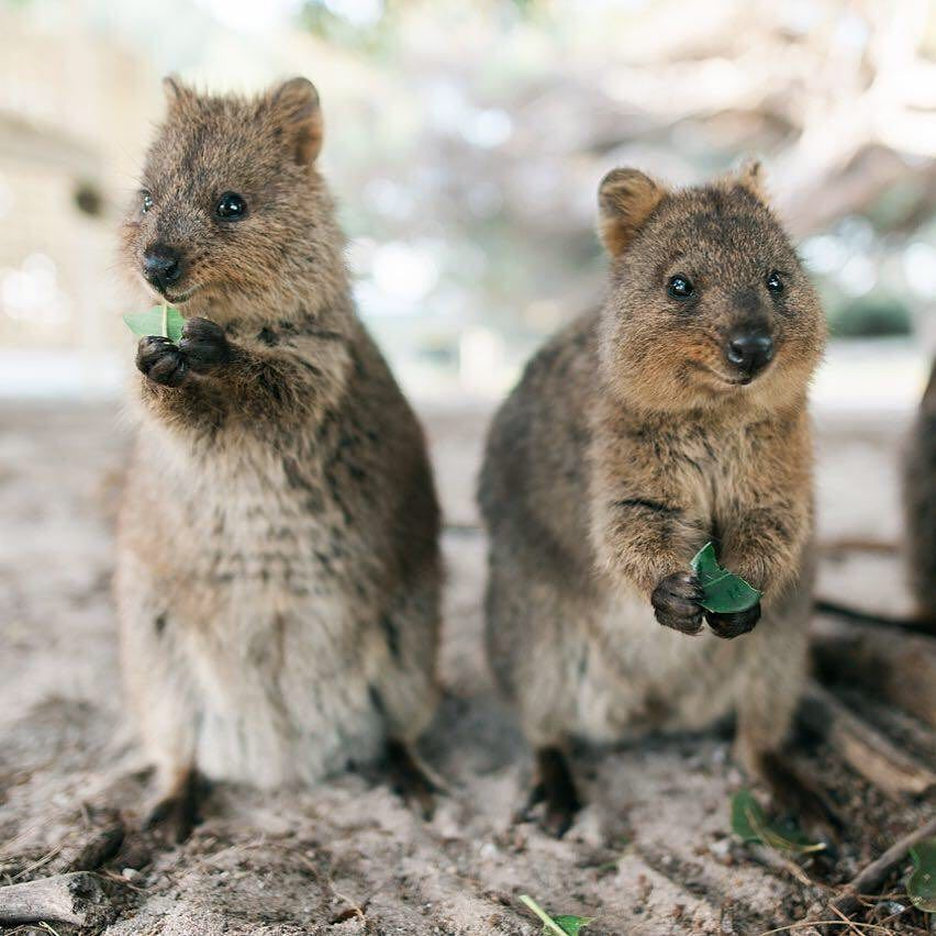 What could possibly be cuter than a happy little #quokka? Two of these  adorable creatures, of course 😉 @… | Australie, Australie voyage, Grande  barrière de corail