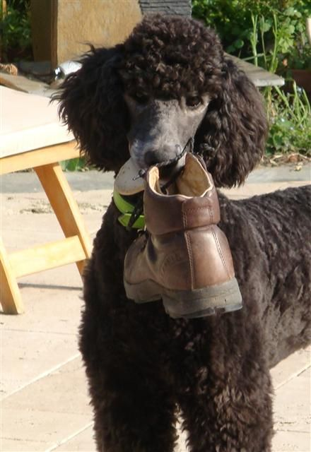 Www Poodlesinneed Com Uk Based Poodle Rescue And Re Homing