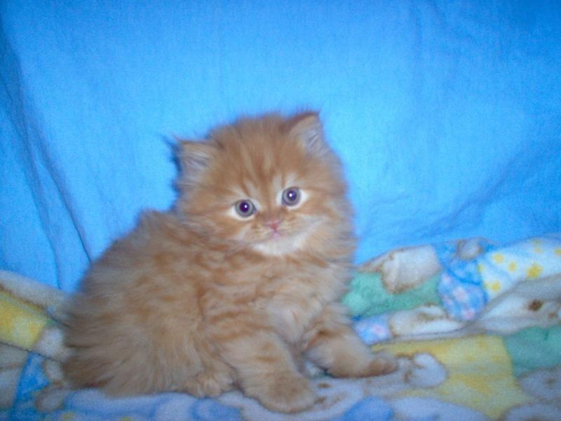 KARKENS Persian Kittens cutest, Kitten for sale, Cats