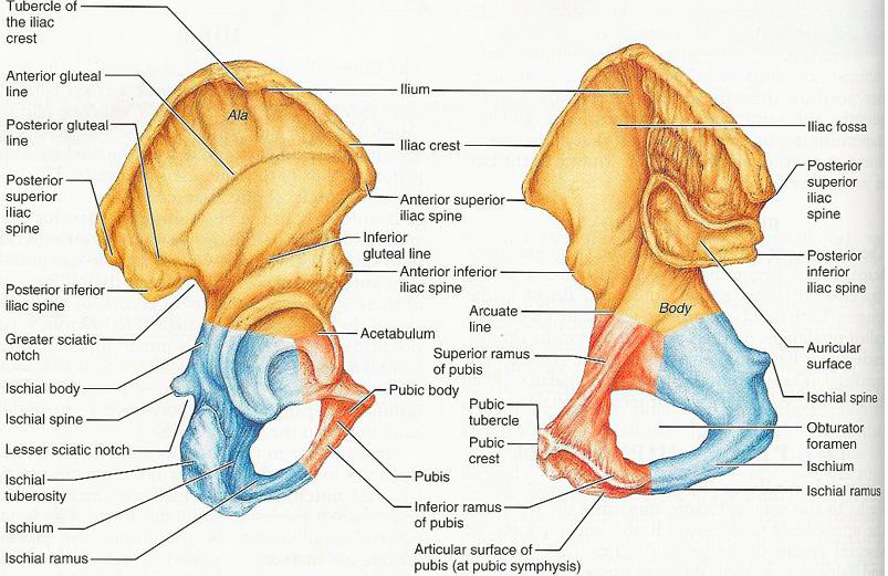 Anterior And Posterior View Of The Right Pelvic Girdle Chapter 8