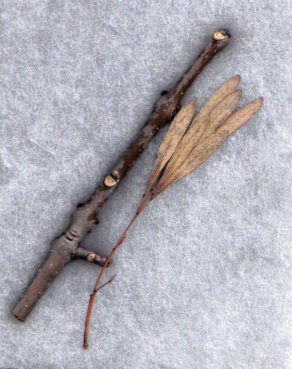 Identify A Dormant Tree In Winter Tree Identification Tree Id Winter Trees