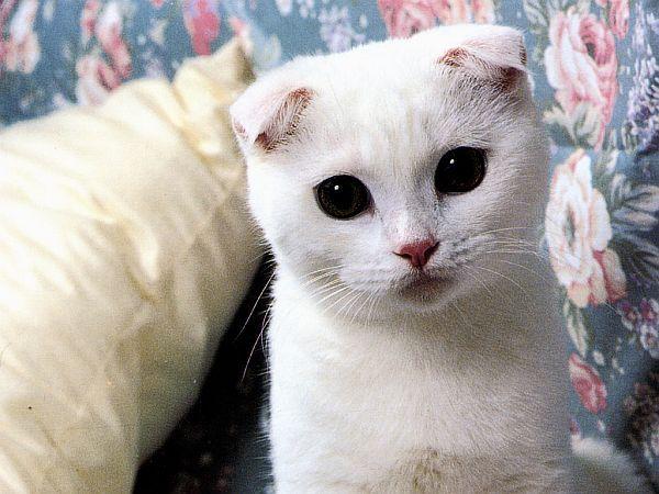 White Munchkin Scottish Fold 3 Cat Scottish Fold Scottish