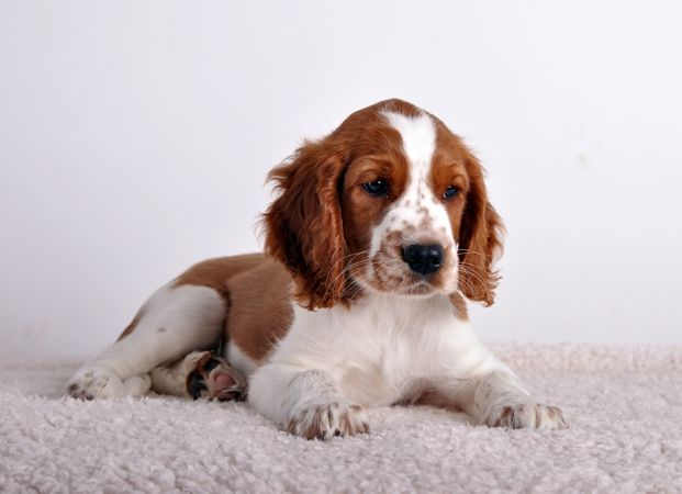 Pin By Dog Is Best On Fci Group 8 Water Dogs Welsh Springer Spaniel Cute Dogs Images Springer Spaniel Puppies