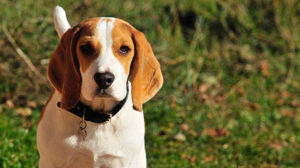 Beagle Friendly And Curious Beagle Pups Dog Breeds Beagle