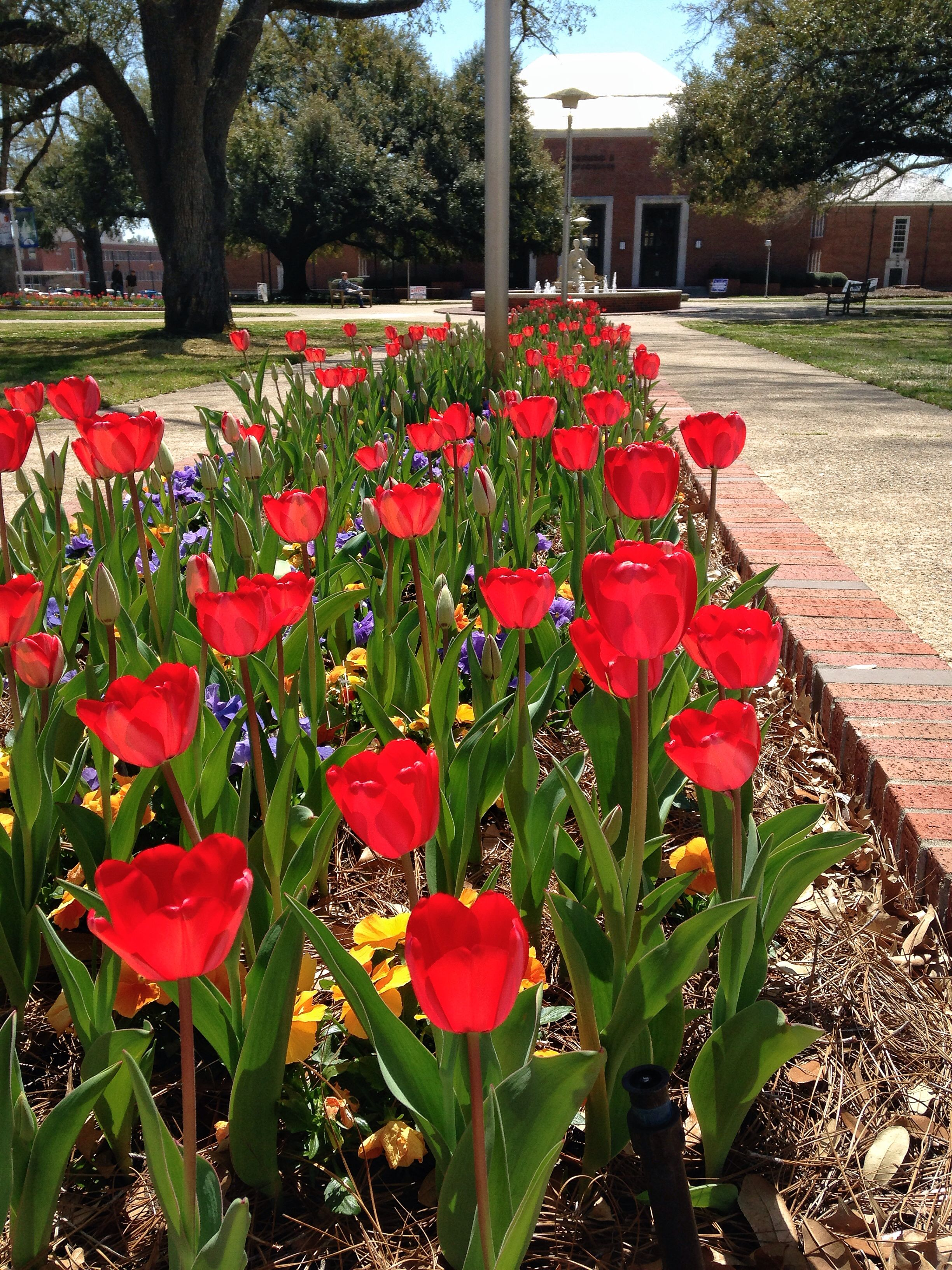The tulips in the quad are a MUST see in the Spring