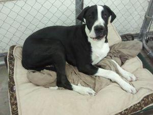 Zeus Is An Adoptable Great Dane Dog In Saint George Ut Zeus Is A