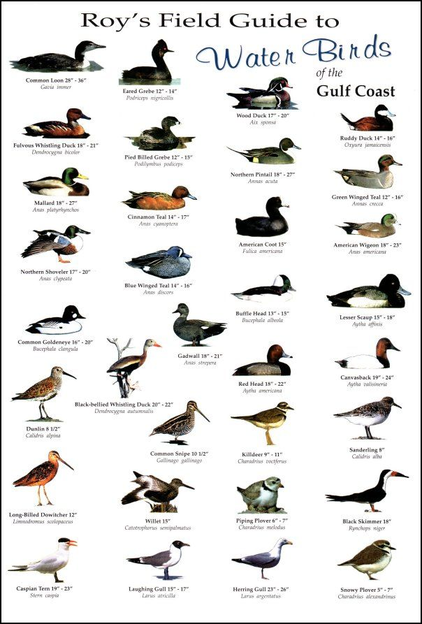 Roy   field guides birds fish and sea shells to be found in the gulf bird identificationwaterfowl huntingfield guide also duck identification chart waterfowl of north america poster rh pinterest