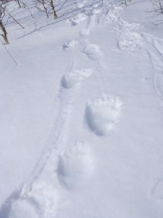 Fresh brown bear tracks in Alutaguse (triini-mannike) Estonia