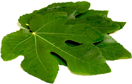 17 Top Health Benefits Of Fig Leaves No 7 Is Miraculous Many To Fix Such As Cancer Diabetes Cardio And More
