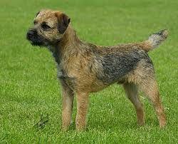 Fully Grown Border Terrier Terrier Dog Breeds Terrier Dogs