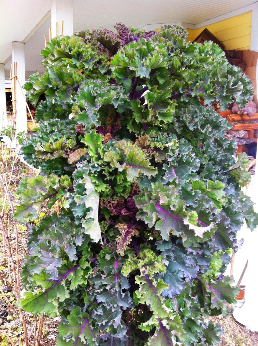 Growing and cooking kale with images easy vegetables