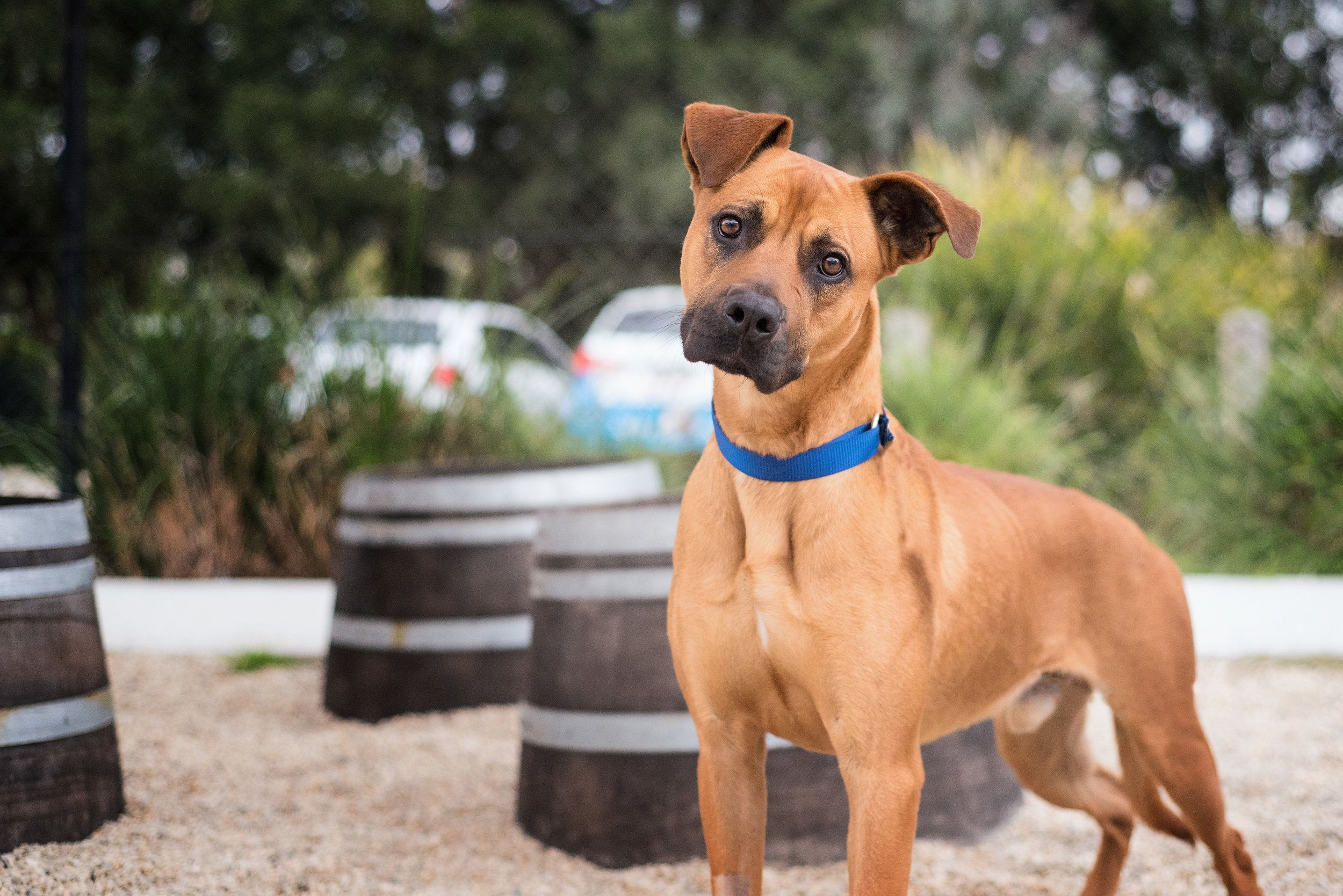 Ridgeback X Yarra Valley Dog Photographer Melbourne