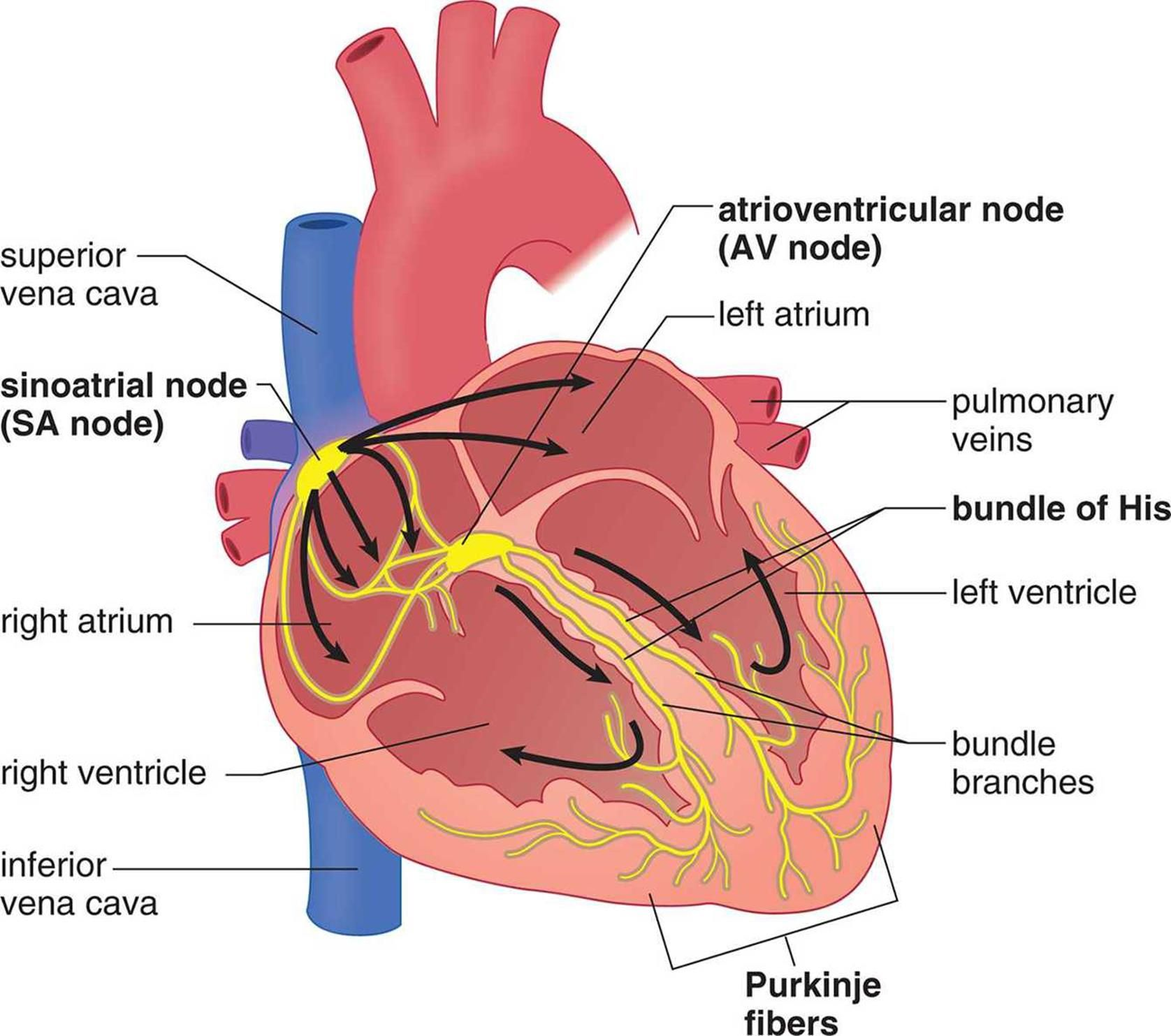 Hy Heart Electrical Conduction In 2020 Cardiovascular System Mcat Biology Review