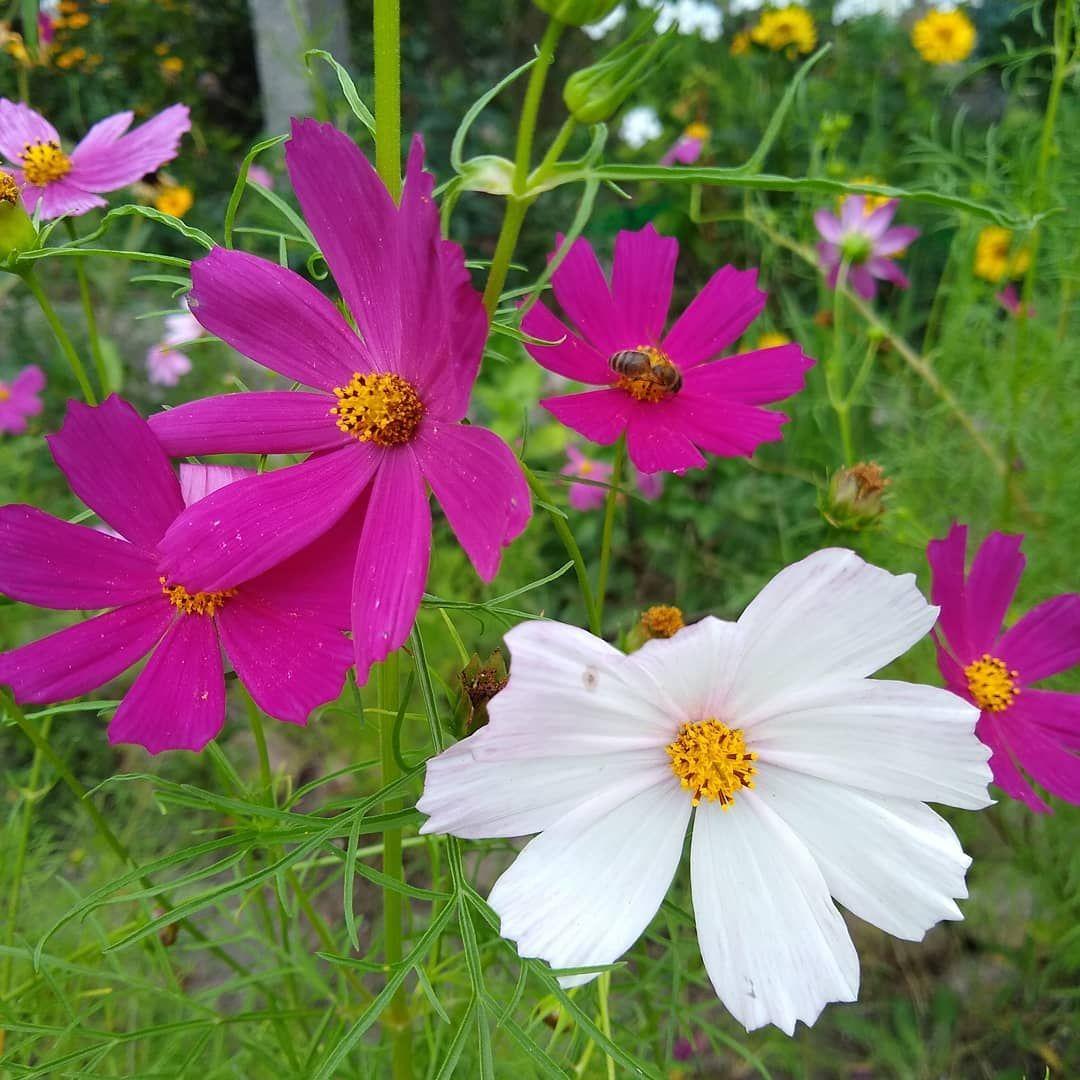Jedne Z Moich Ulubionych Kwiatow Kosmosy Sa Proste I Piekne Nie Wymagaja Wiekszej Pielegnacji I Ozdabiaja Ogrod Landscape Structure Ideal Gardens Big Plants