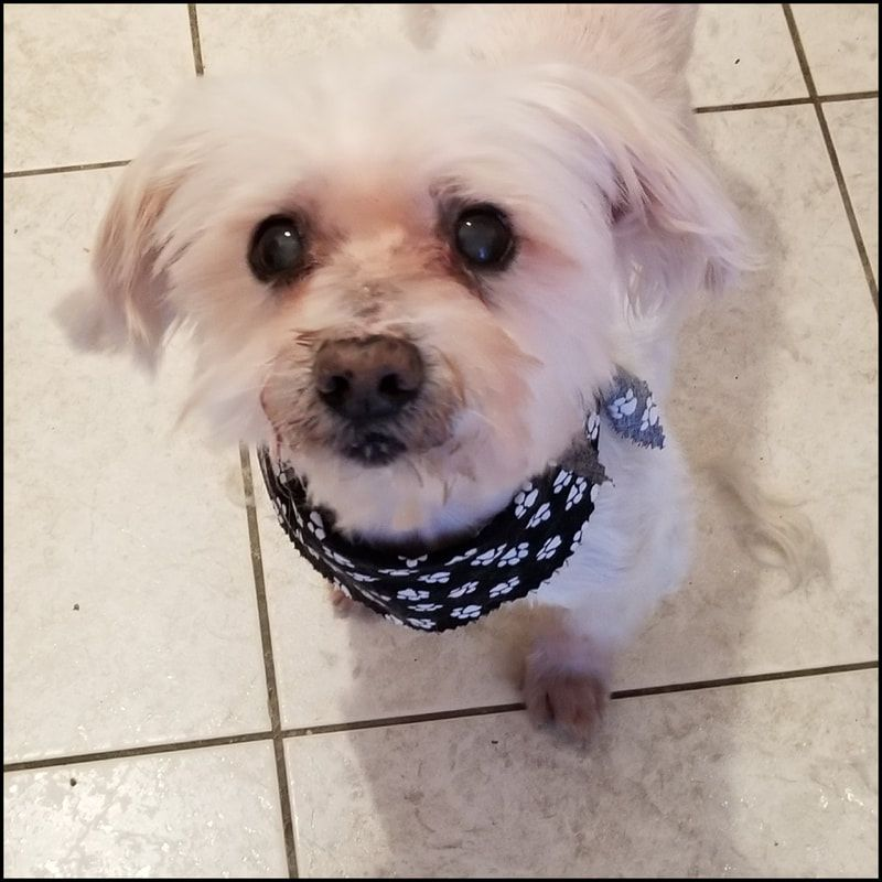 maltese puppies for sale in palm desert ca