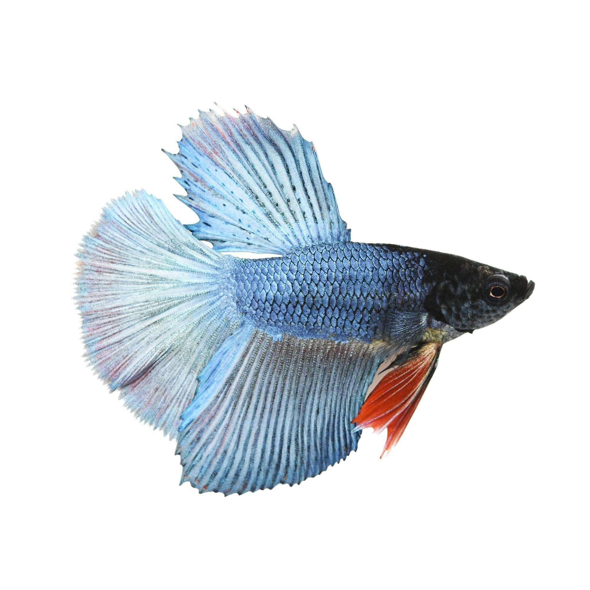 Male Deltatail Betta (Betta splendens) Betta, Betta fish