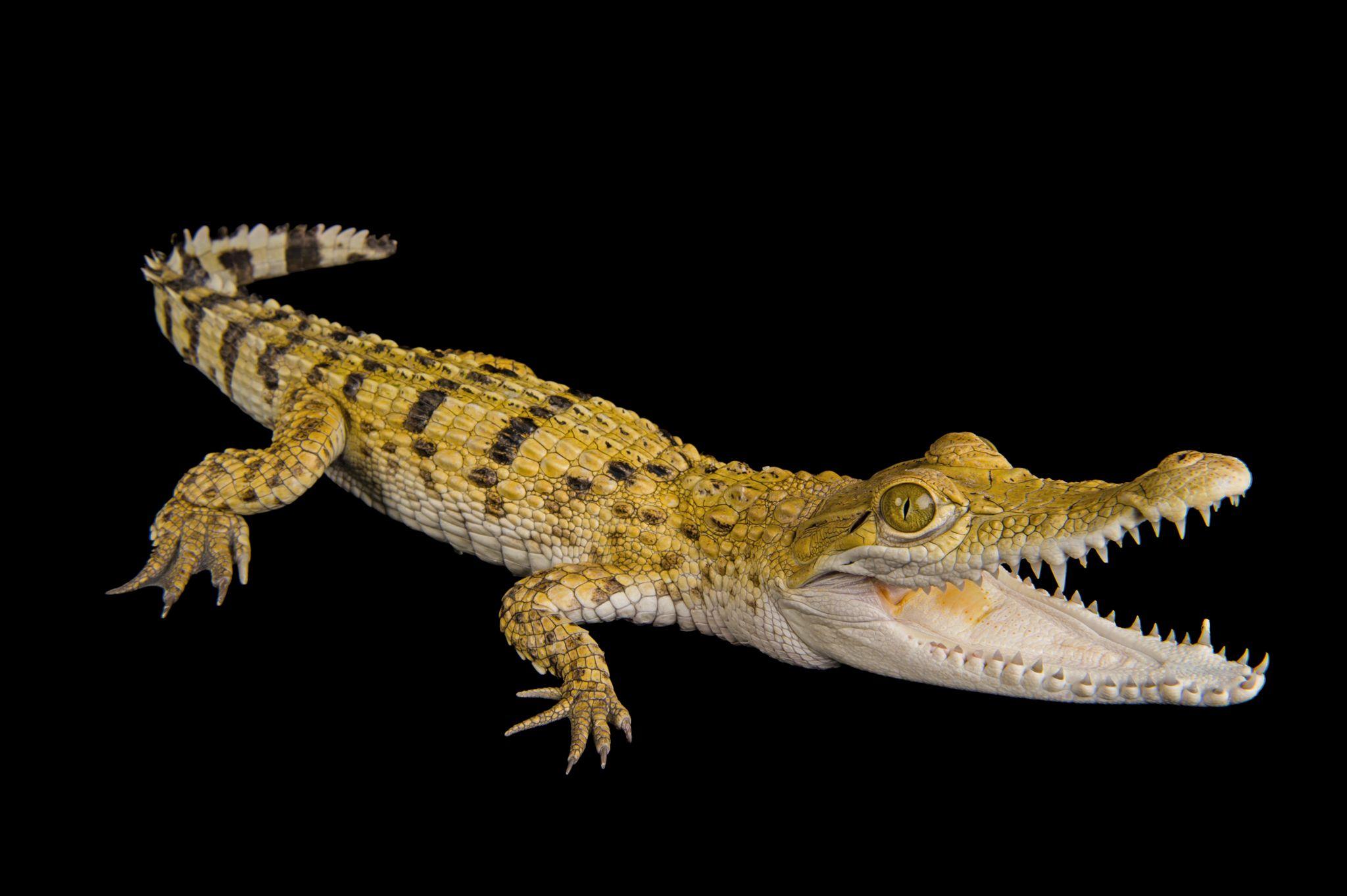 Philippine crocodile (National Geographic Photo Ark