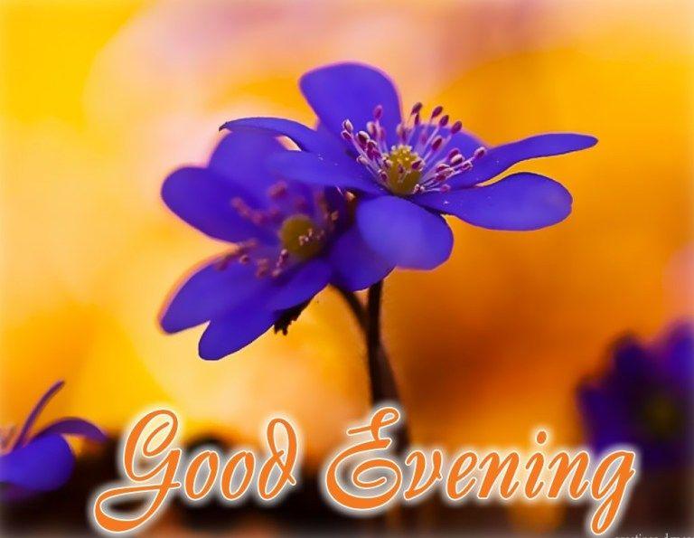 Good Evening Rose Flower Hd Wallpaper Beautiful Flowers Images