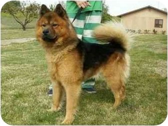 chow and german sheperd - Pesquisa Google | German ... Chow Chow X German Shepherd