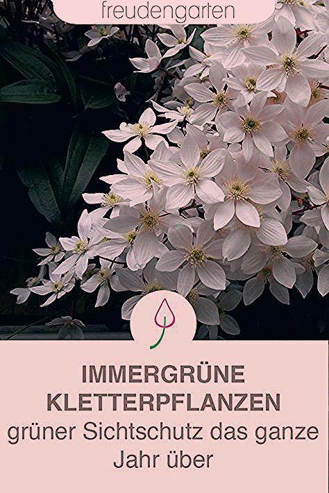 Photo of Immergrüne Kletterpflanzen