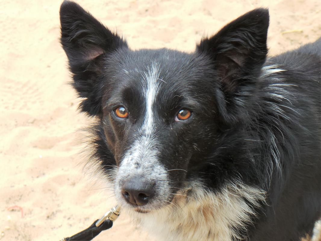 Adopt A Dog Tintin Border Collie Dogs Trust Dog Adoption