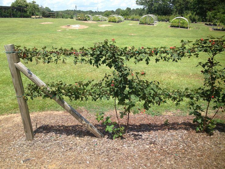 Blackberries trellis | Garden - Blackberry/Raspberry ...