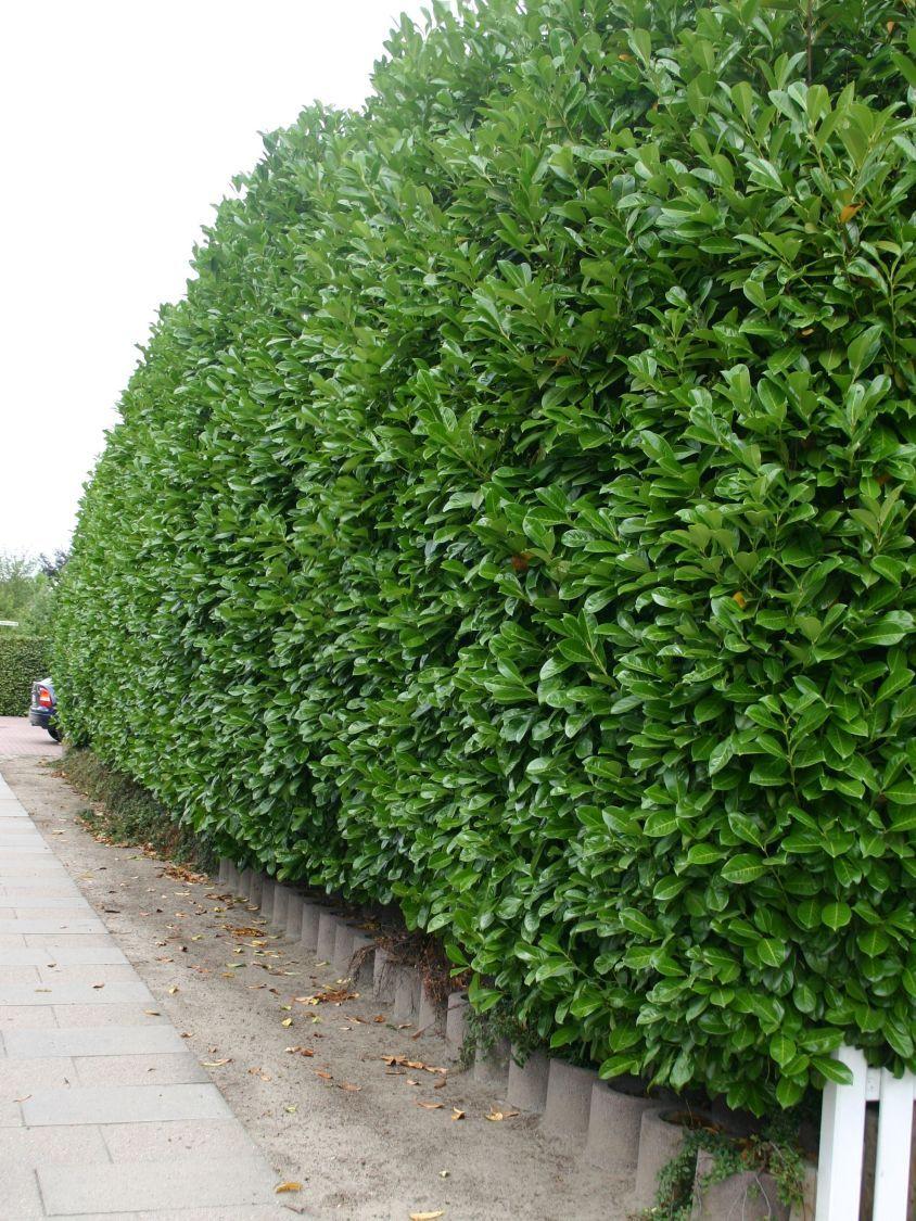 kirschlorbeer lorbeerkirsche 39 rotundifolia 39 prunus laurocerasus 39 rotundifolia 39 allgemein. Black Bedroom Furniture Sets. Home Design Ideas