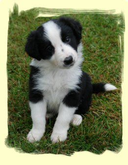 Poodle Border Collie Cross Google Search Bordoodle Animals Border Collie