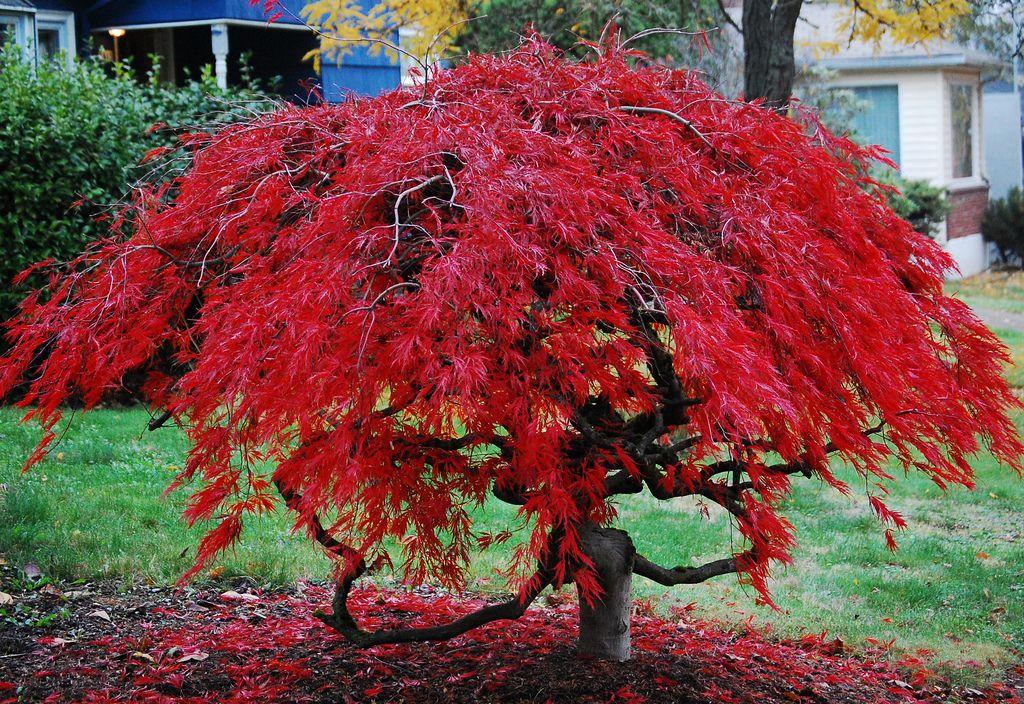 Japanese maple japanese maple for Specimen trees
