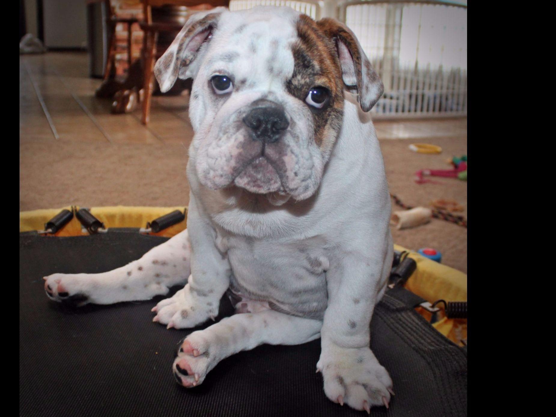 Chattos Bulldogs Dog Breeders Sunbury, OH Bulldog