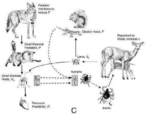 wild boar life cycle diagram researchers say that when there s plenty of red foxes are  researchers say that when there s plenty of red foxes are