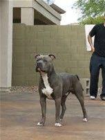 Image Result For Razor Edge Watchdog Pitbulls American Pitbull