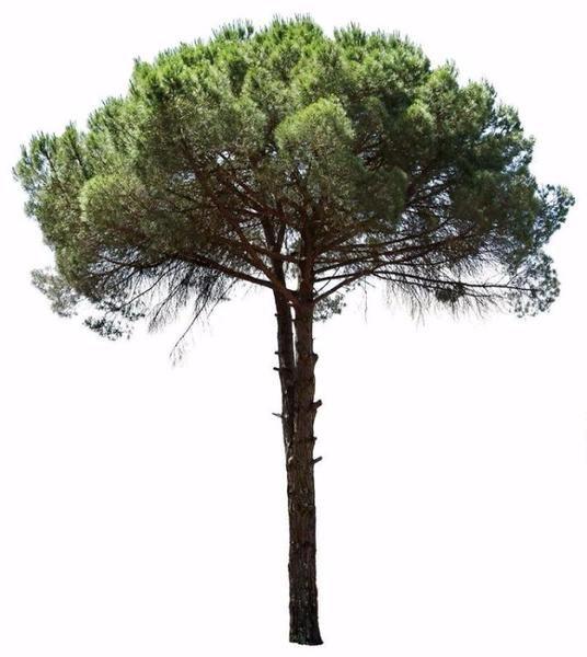 Pinus pinea III | / PHOTOSHOP / | Pinterest | Architektur-Skizze ...
