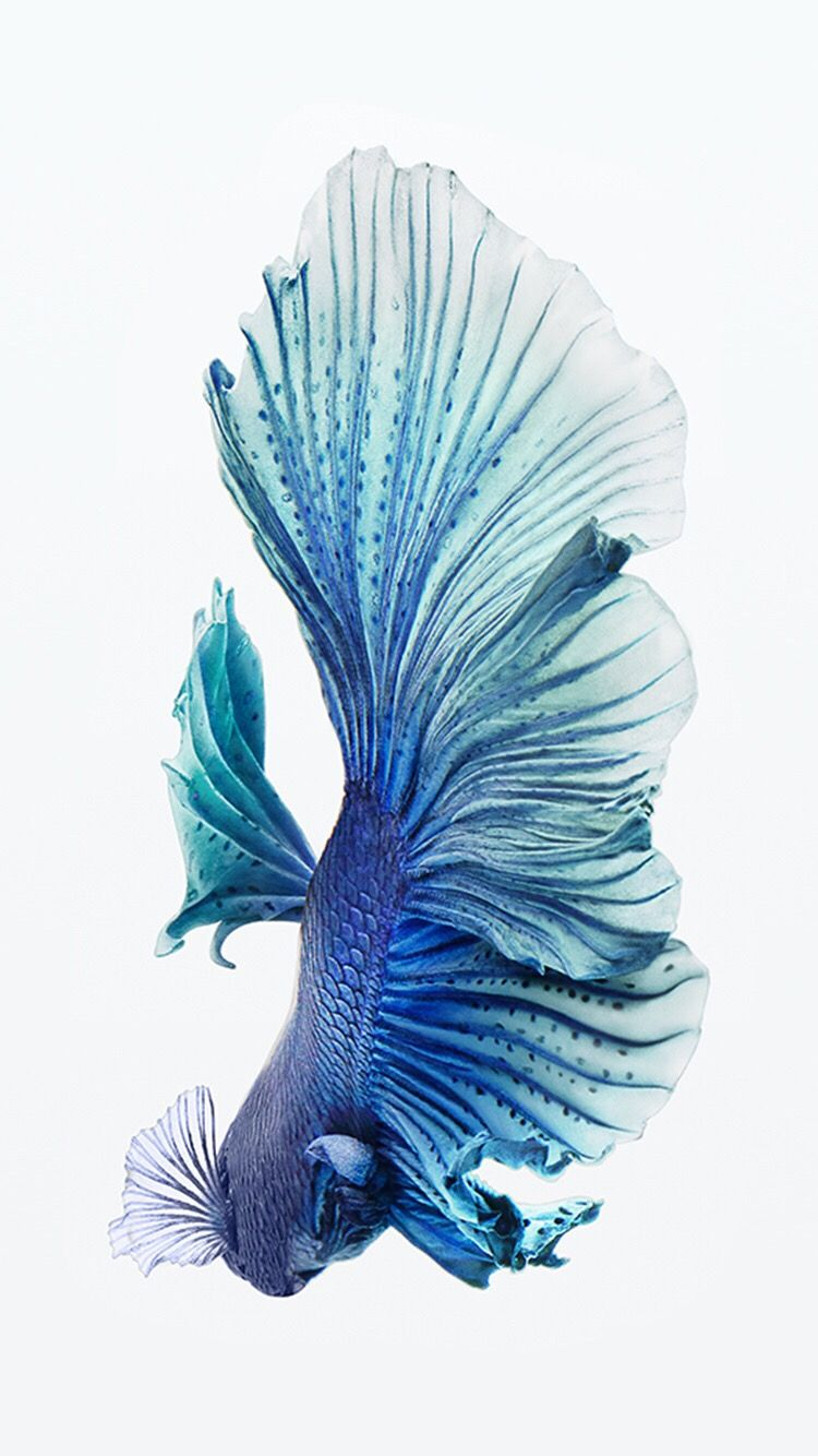 Wallpaper iphone cupang - Betta