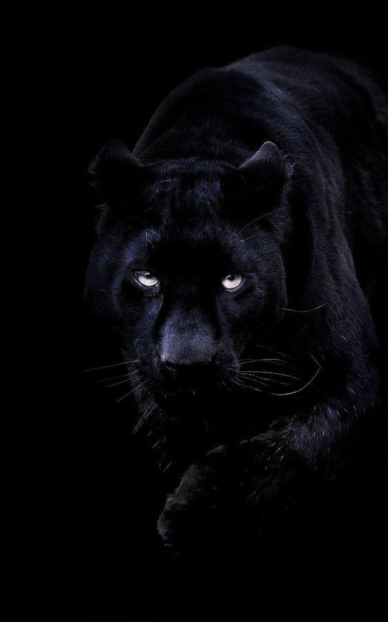 Pin By Lisabwd Pin Freely On 68r Jet Black Quartz Black Licorice Dark Gunmetal Pearls Gray Greys Black Colorblock Black Panther Cat Panther Cat Panther Pictures