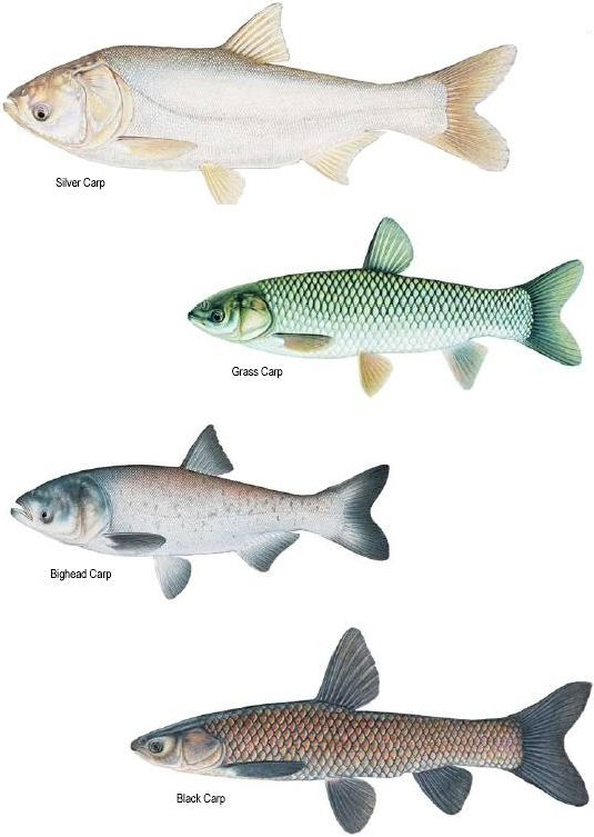 Spawning Requirements Grass Carp Fishing Pictures Fish Pet