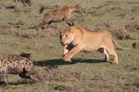 lions vs hyenas | Warriors | Animals, African animals, Hyena