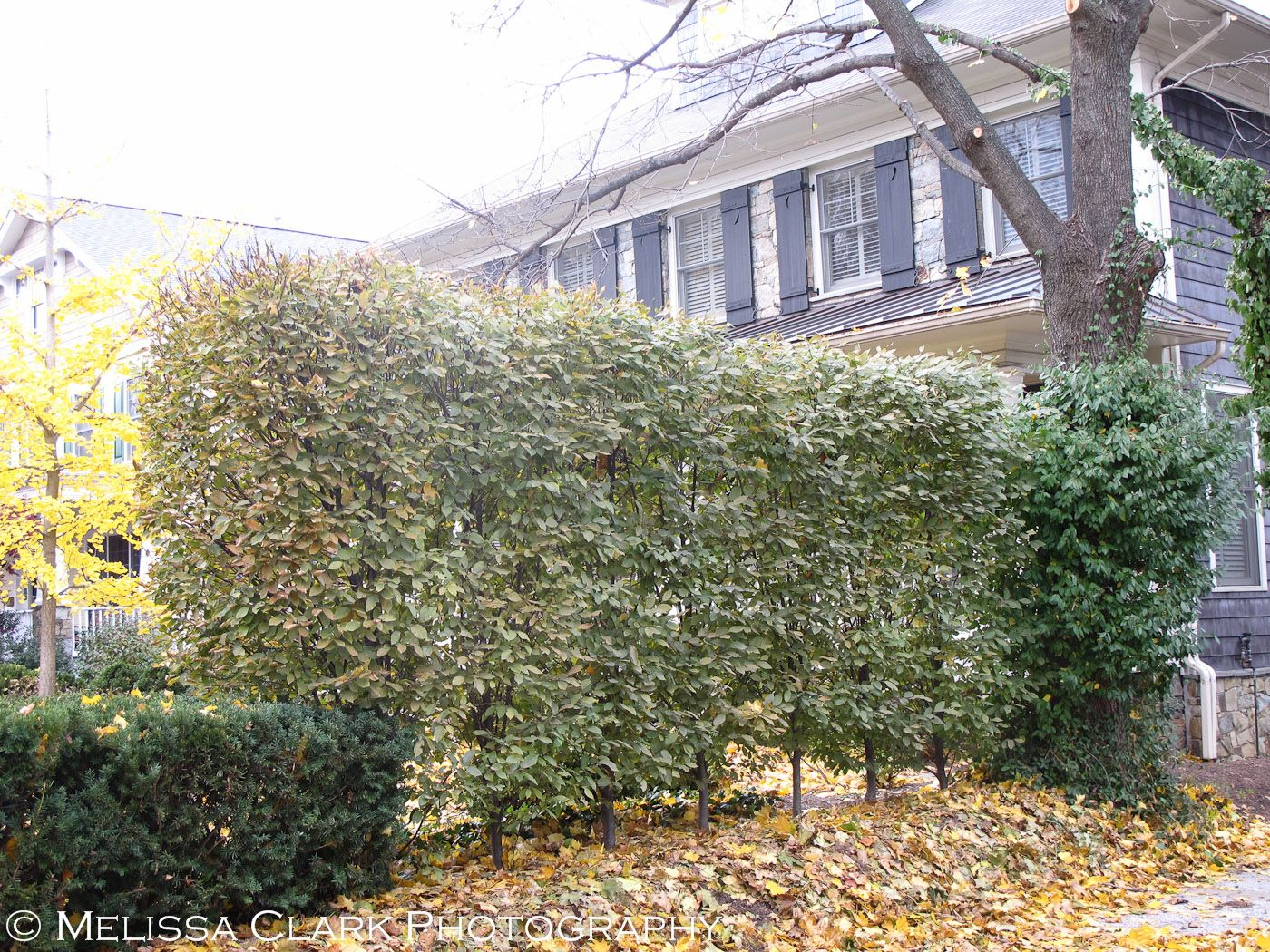 green screens for small spaces hornbeam hedge privacy