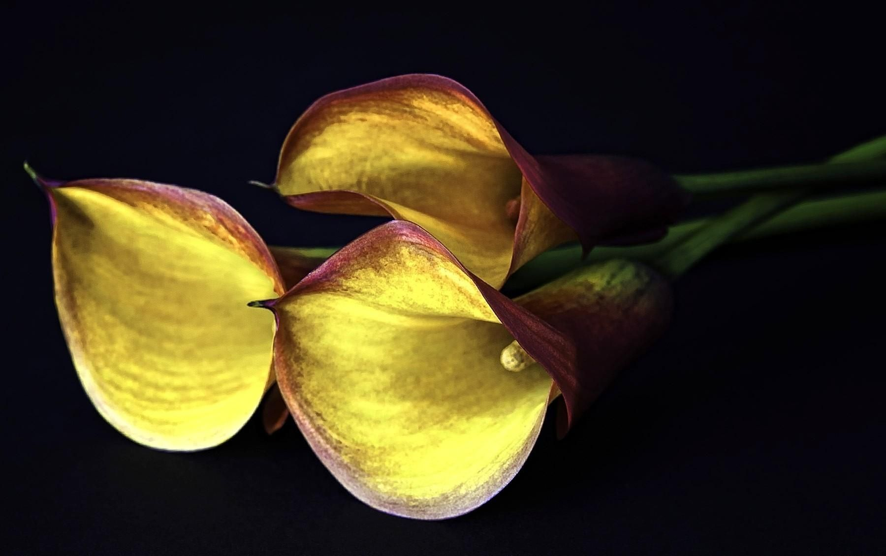 1800x1130 wallpaper calla lilies flowers three yellow black 1800x1130 wallpaper calla lilies flowers three yellow black background izmirmasajfo