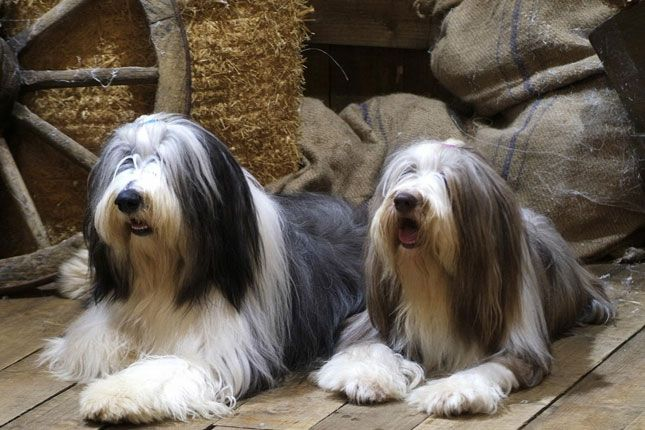 Bearded Collie Cute Dog Wallpaper Bearded Collie Bearded