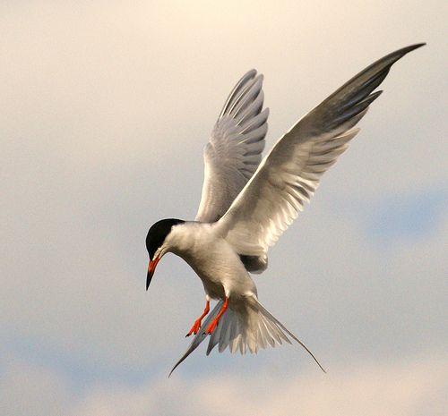 Searching By Paintedlady27 Via Flickr Pajaros Volando Aves