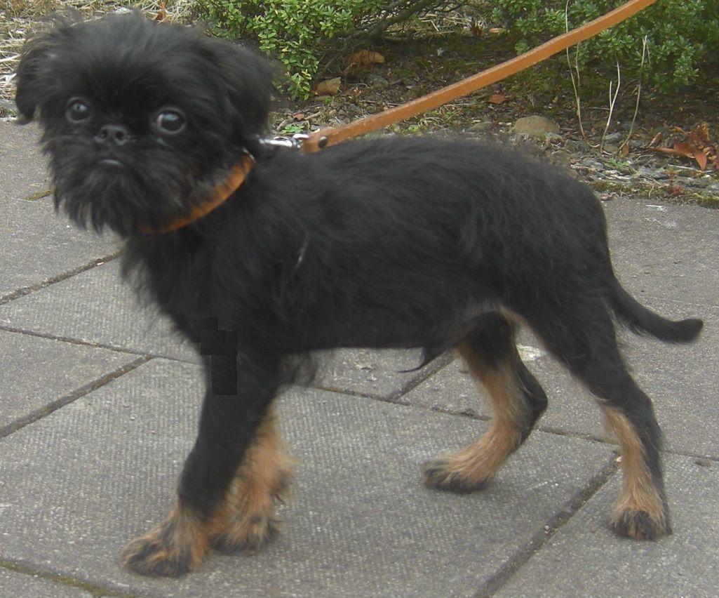 Griffon Bruxellois Puppy Black Tan Rough Coat Puppies
