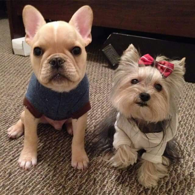 Misa And Brody French Bulldog Puppy And A Yorkie French